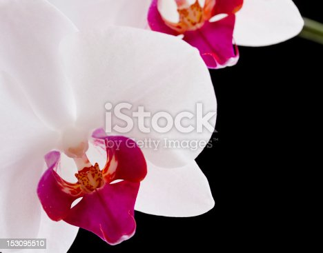 wild orchid flowers on black background