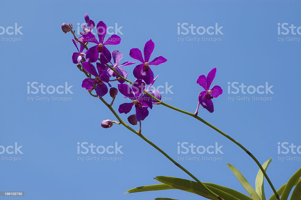 Orchid flower on Blue sky royalty-free stock photo