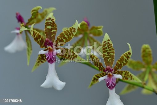 Orchid family is a diverse family of flowering plants, with colorful and often fragrant flowers. It is said that they are one of the two largest families of flowering plants with more than twenty thousand species.