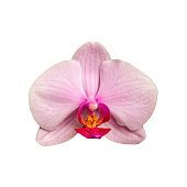 blooming beautiful pink orchid flower closeup isolated on white background