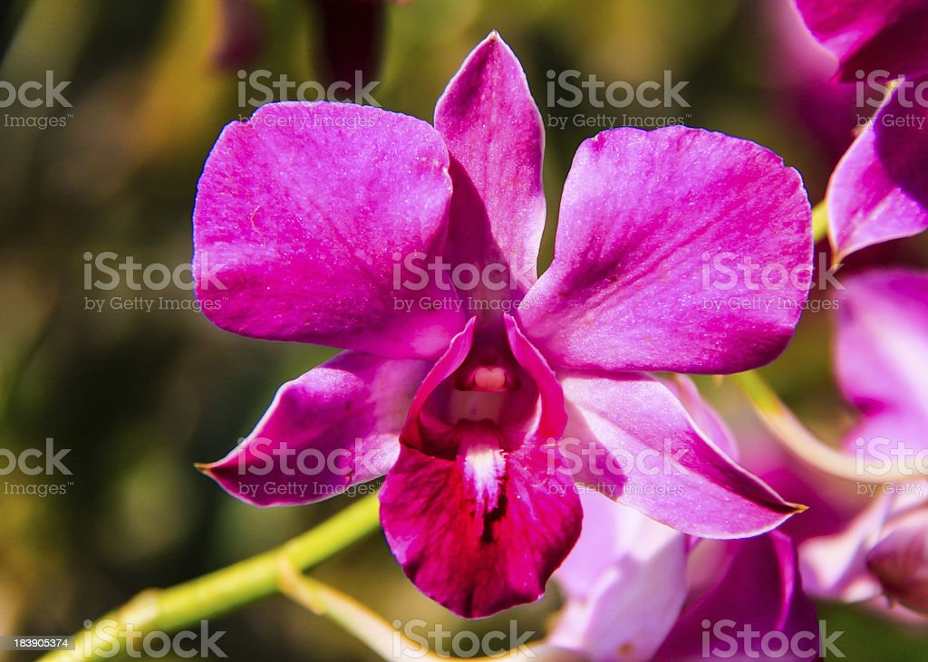 orchid flower. royalty-free stock photo