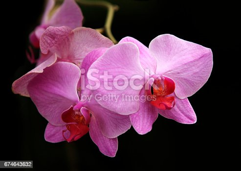Beautiful purple orchid flower isolated on black
