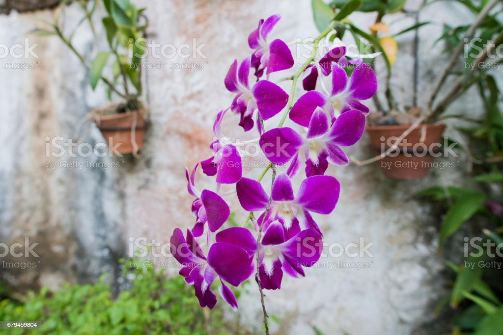 Orchid flower royalty-free stock photo