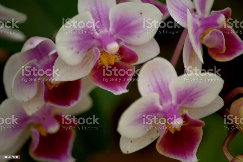 Flor de orquídea - Foto de stock de Beleza natural - Natureza royalty-free