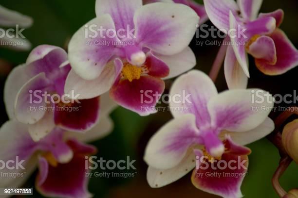 Foto de Flor De Orquídea e mais fotos de stock de Beleza natural - Natureza