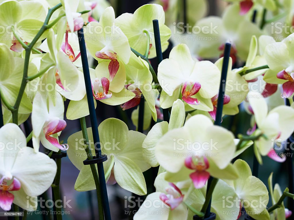 orchid Flower. Plant stock photo