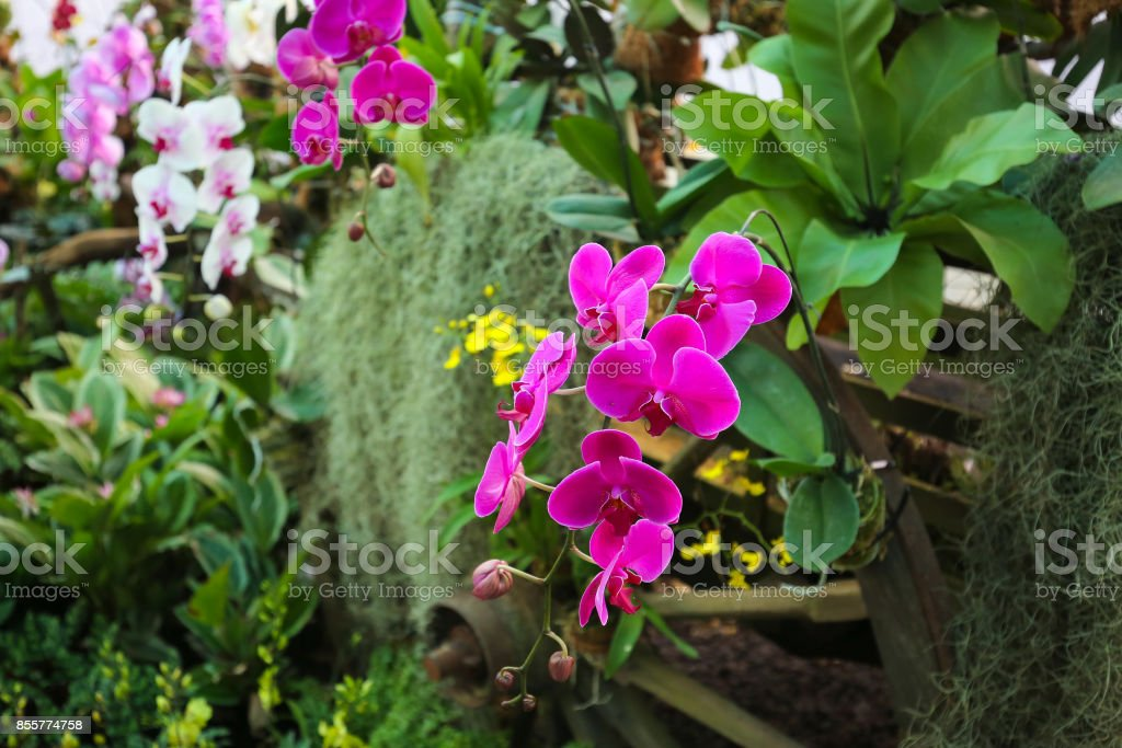 Orchid flower purple and white orchid flower garden stock photo