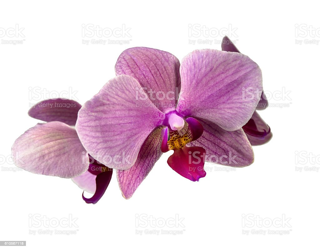 Orchid flower purple insulated. stock photo