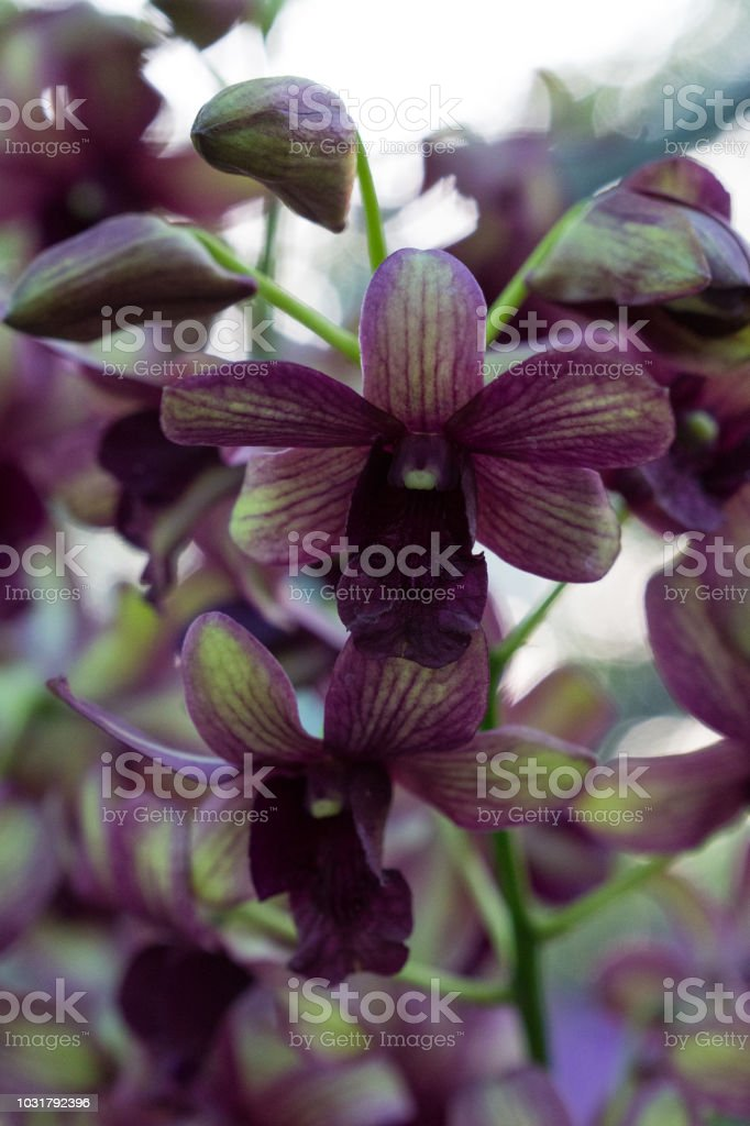 Orchideen blühen. – Foto