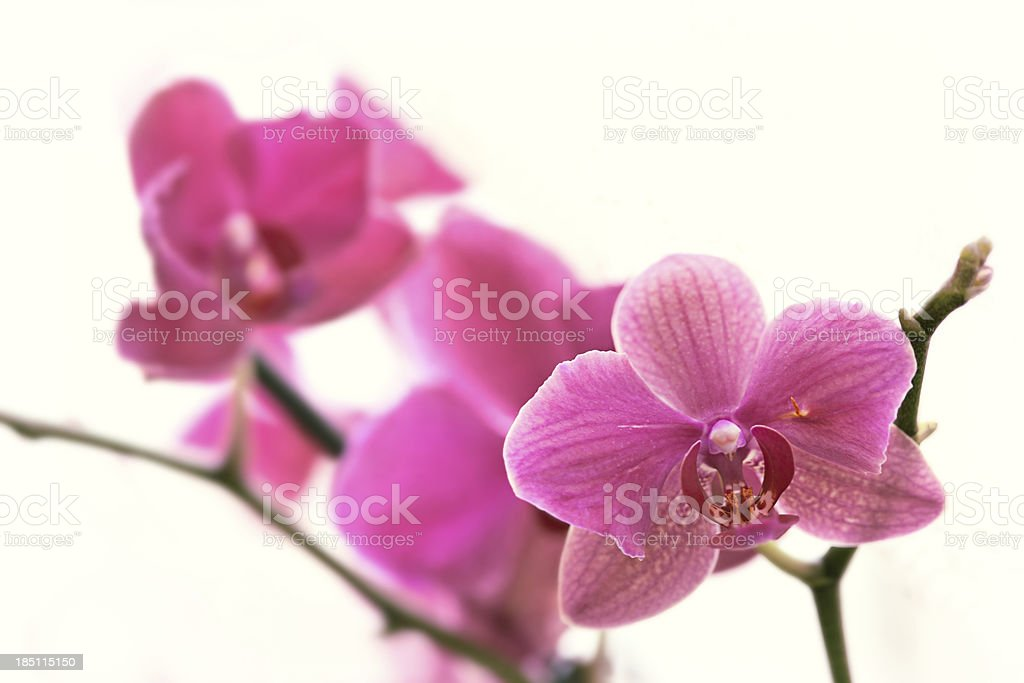 Orchid flowers branch royalty-free stock photo