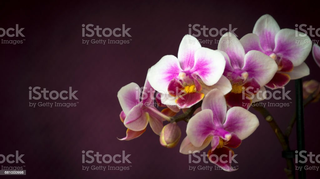 Orchid Flowers Closeup royalty-free stock photo