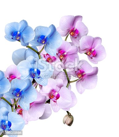 istock Orchid flowers isolated on white 1286020594