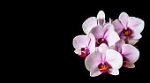 Isolated orchid flowers on black background. Home grown colorful Moth Orchid flowers in bloom.