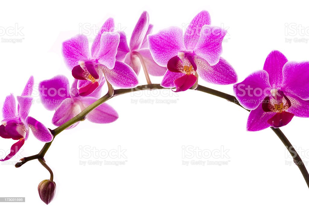 Orchid flowers on white with copy space royalty-free stock photo