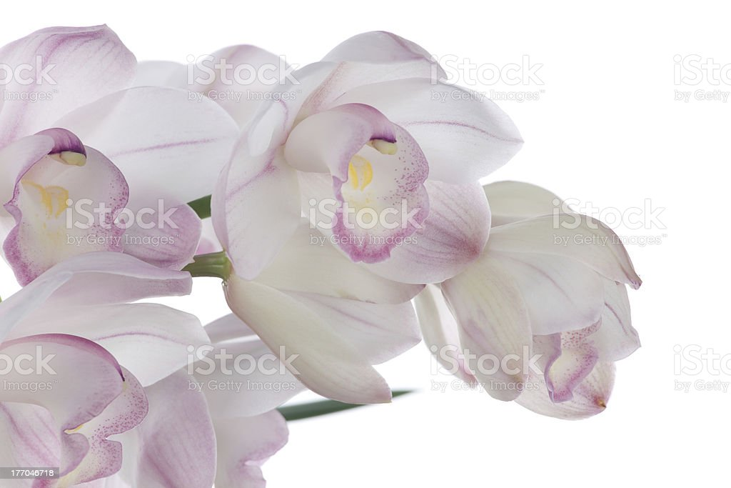 Orchid flowers over white (Cymbidium sp) stock photo