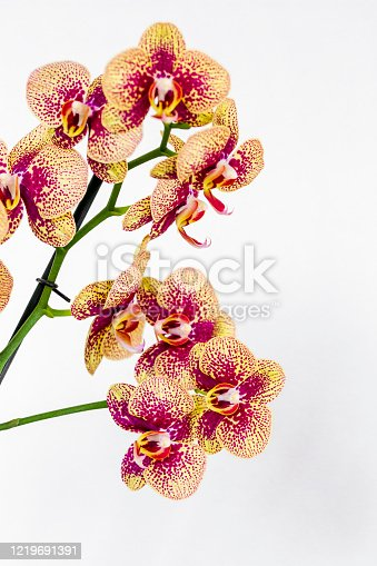 Phalaenopsis Red White stripe x hybrid Orchid flower bloom with soft focus and White background. Floral tropical design element for cosmetics, perfume, beauty care products.