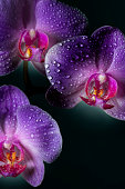 Beautiful Orchid flowers with drops on a dark background. Space for copy.
