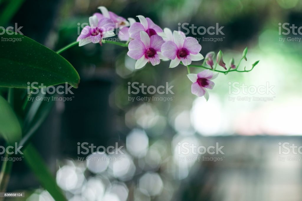 Orchid flowers with green background stock photo