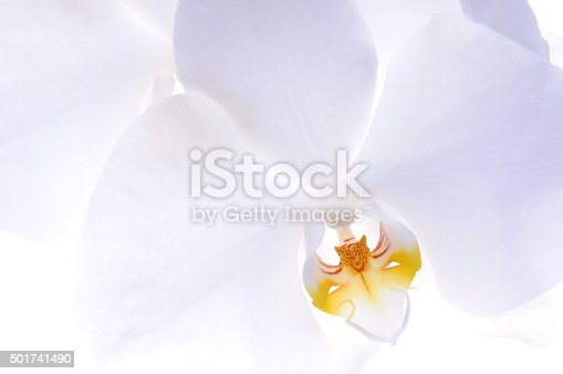 Orchid head flower on white background