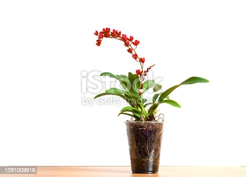 Orchid Howeara Lava Burst or the new name Leomesezia Lava Burst