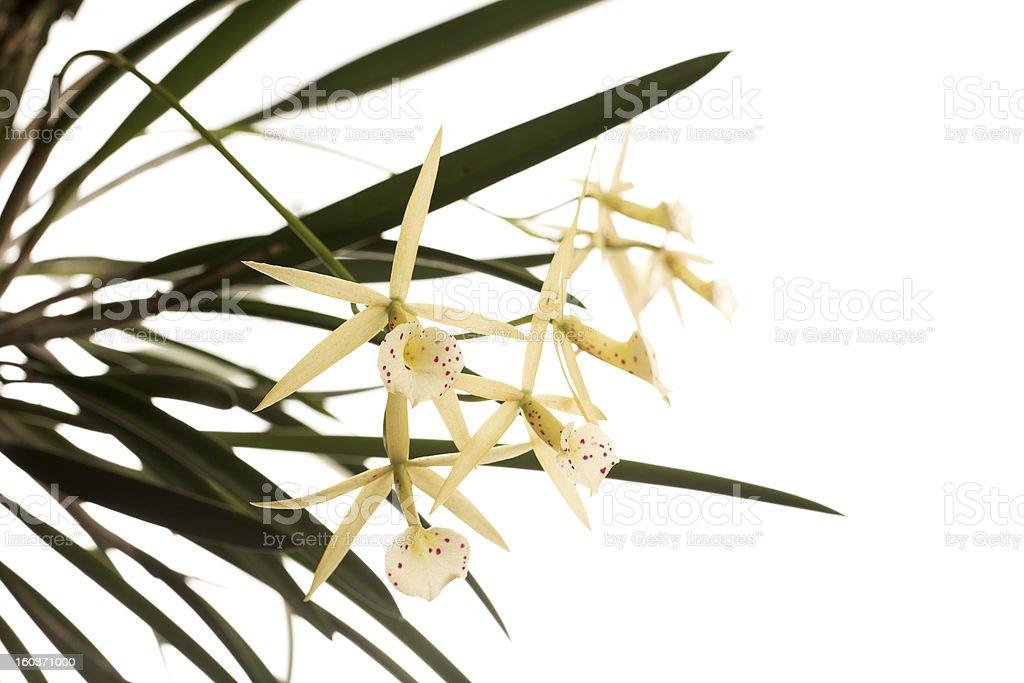 Orchid Hybrid - Brassocattleya Yellow Bird royalty-free stock photo