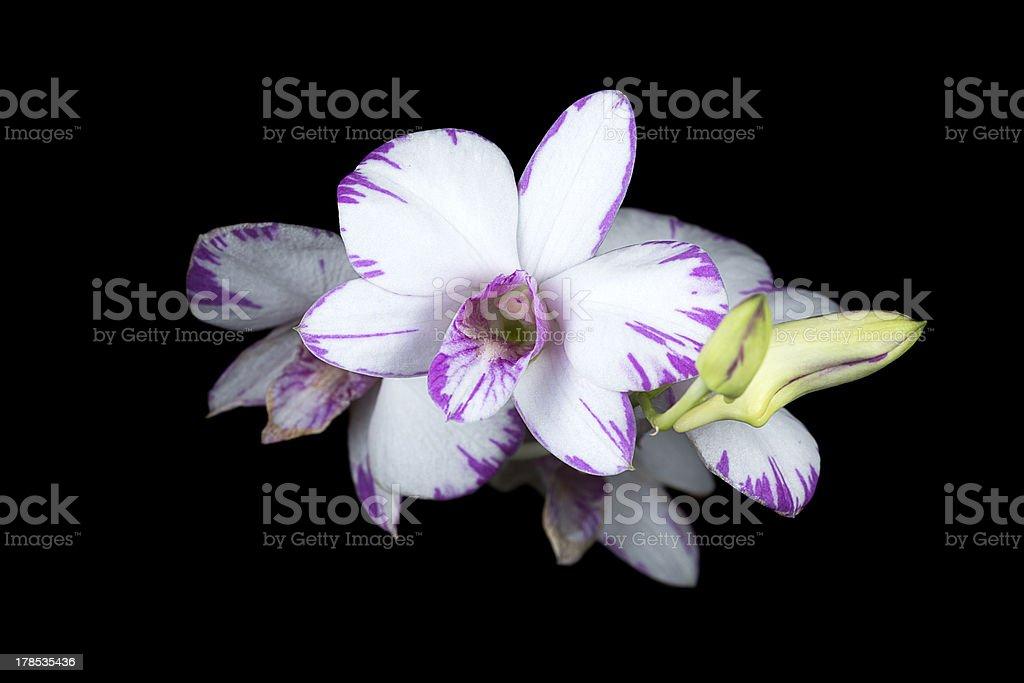 Orchid Hybrid - Dendrobium Enobi Purple (black background) royalty-free stock photo