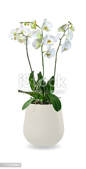 Orchid (Phalaenopsis) in a pot with white flowers isolated over white