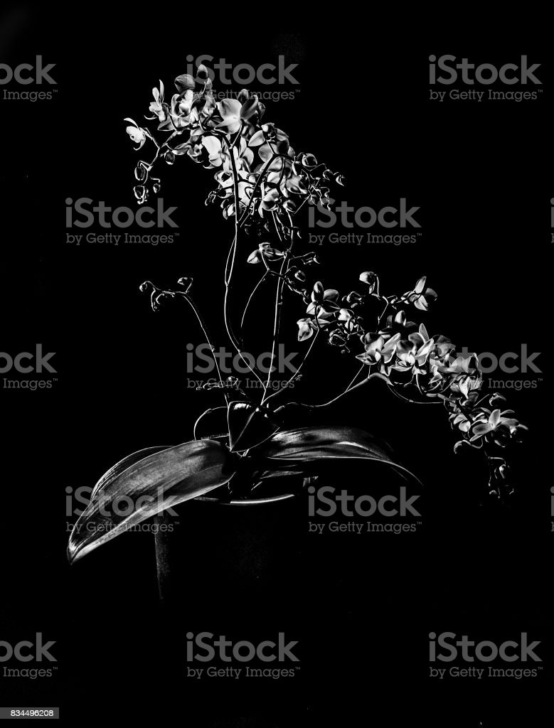 orchid in black and white stock photo