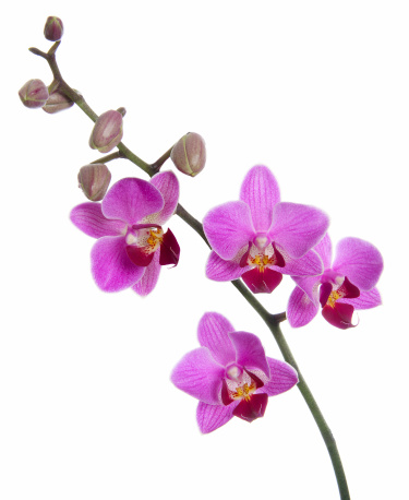 A beautyful phalaenopsis orchid in bloom with cocoons. Isolated