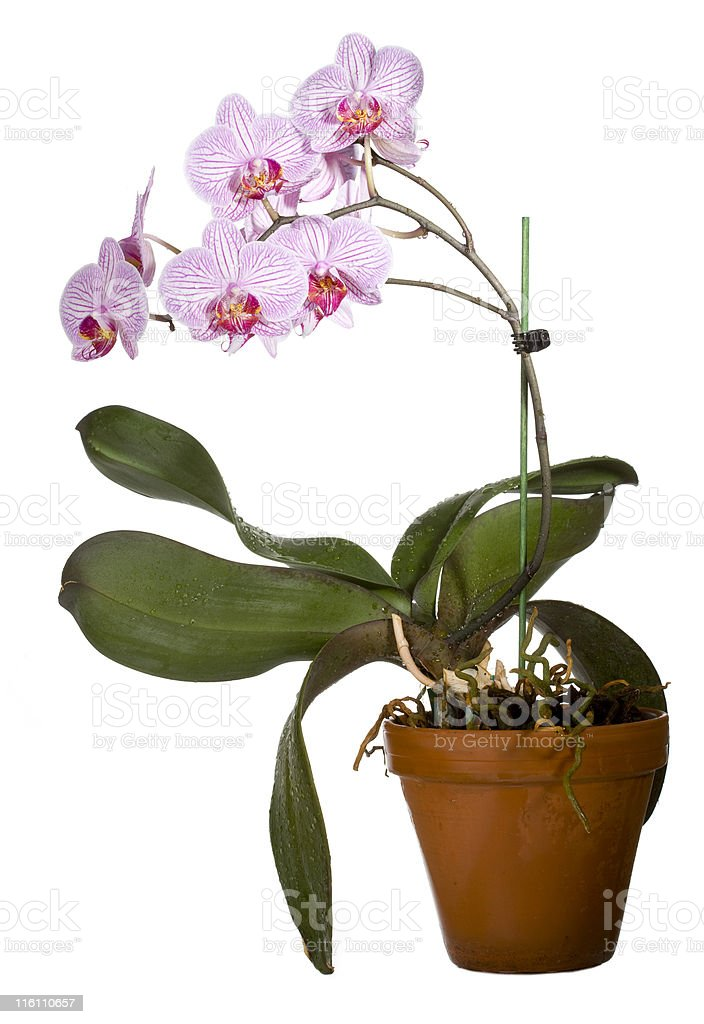 Orchid in clay pot stock photo
