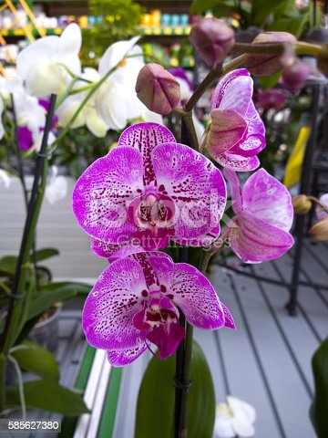 Photographed with mobile phone. Orchid in store.