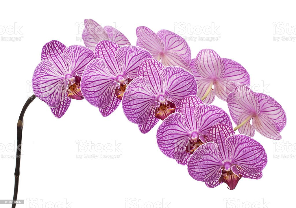 orchid isolated on white background royalty-free stock photo