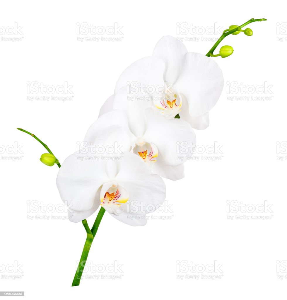 orchid isolated on white zbiór zdjęć royalty-free