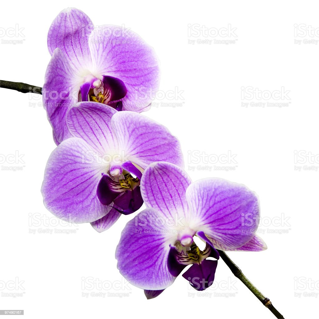 Orchid isolated on white with clipping path royalty-free stock photo