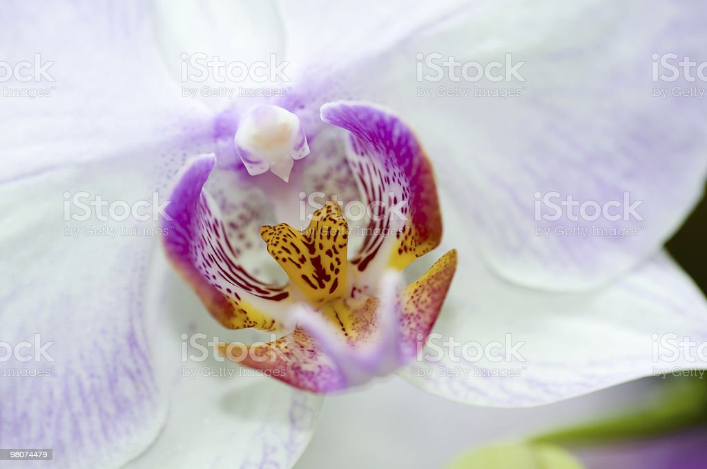 Orchid macro royalty-free stock photo