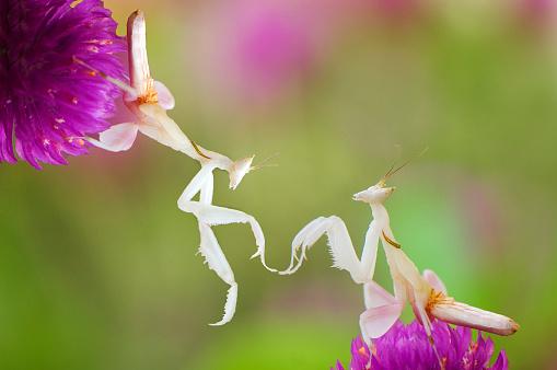 Orkide Bönsyrsa