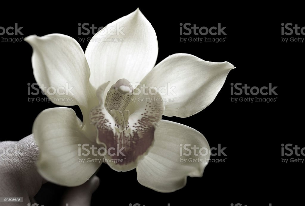 Orchid No. 4 royalty-free stock photo