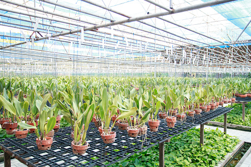 Orchid flower pots on a plant nursery in the orchid farm