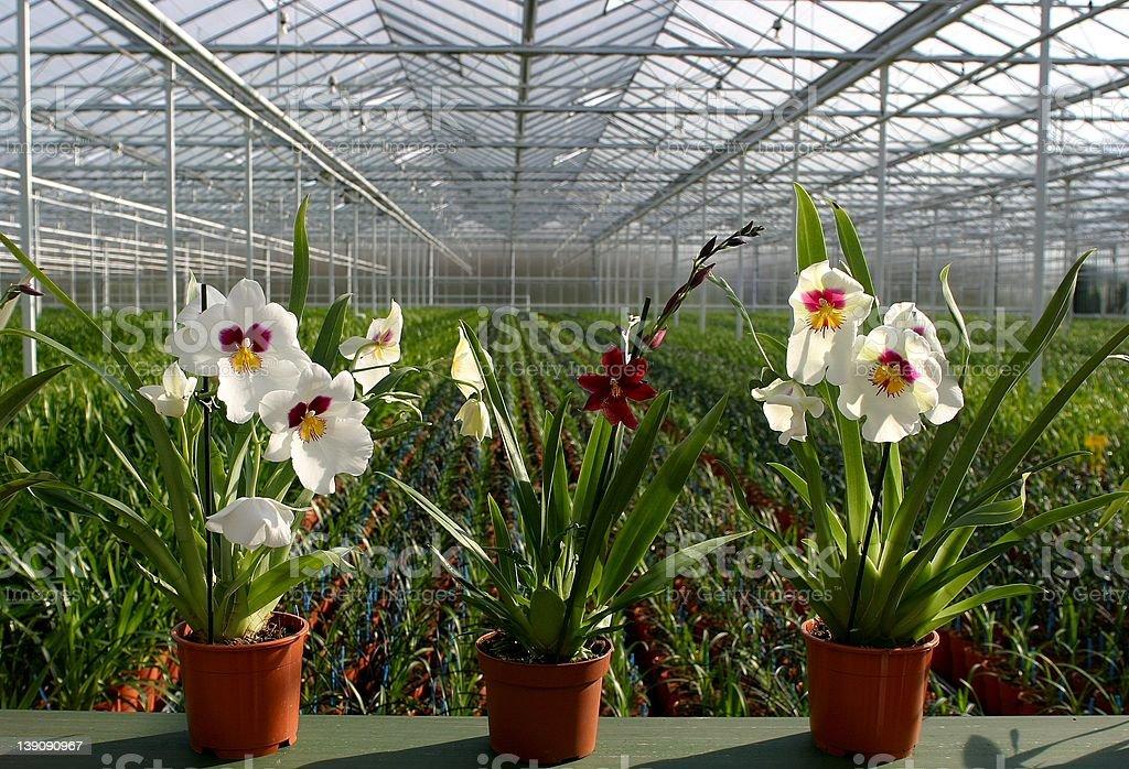 Orchid Nursery stock photo