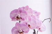 Orchid on a light background, close-up