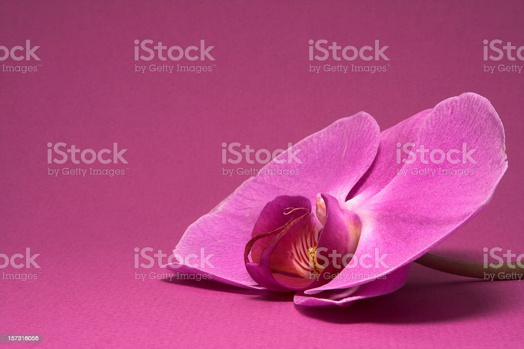 Orchid on a pink background royalty-free stock photo