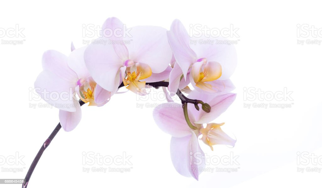 Orchid on a white background. photo libre de droits