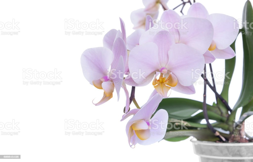 Orchid on a white background. royalty-free stock photo