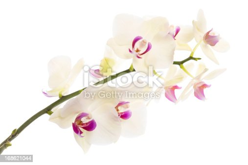 wild orchid on white background