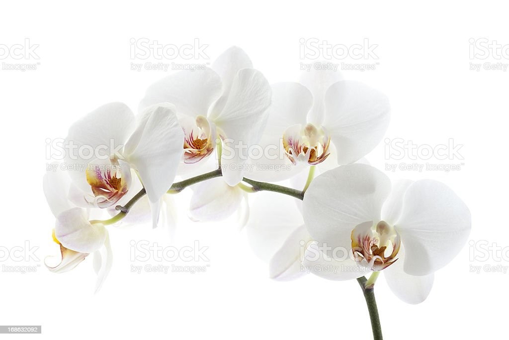 Orchid on White royalty-free stock photo