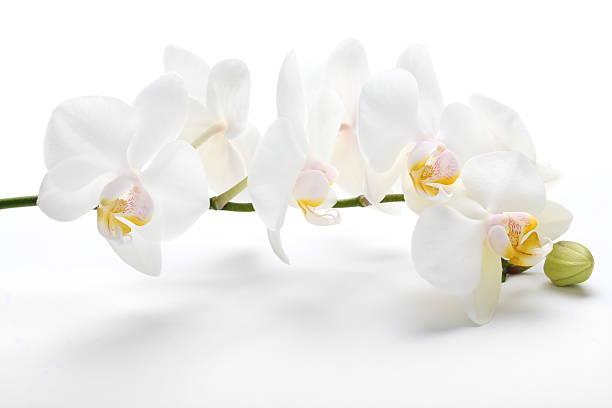 Orchid on white picture id471129505?b=1&k=6&m=471129505&s=612x612&w=0&h=g 5z9cdtvnet8kklkfb2g2sjfyhoruy4fqfodjlaz6o=