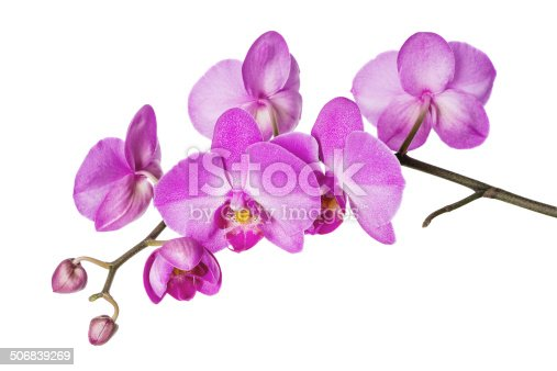Blossoming branch of purple orchids on a white background