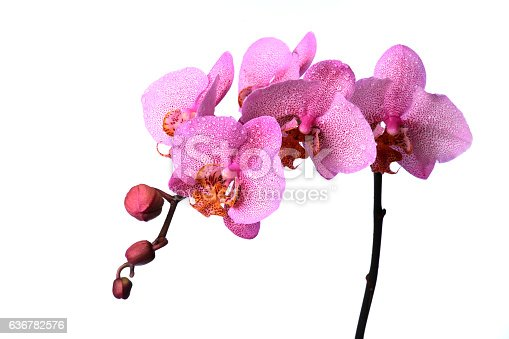 orchid with dew drops on white background