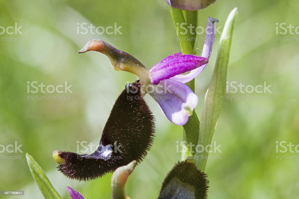 Orchid Ophrys Bertolonii royalty-free stock photo