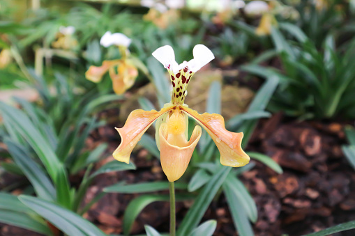 orchid or yellow flower or Ladys Slipper flower